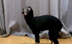【爆笑】服が気に入らず固まってしまった犬が話題に「静止画かとおもったw」