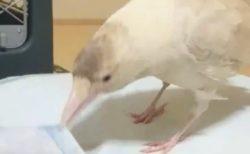 【動画】真剣な顔で家事の手伝いをする白いカラスが話題に「美しい・・」「賢い!」
