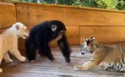 【保育園?】じゃれあって遊ぶ虎の赤ちゃん達とチンパンジーの動画が話題
