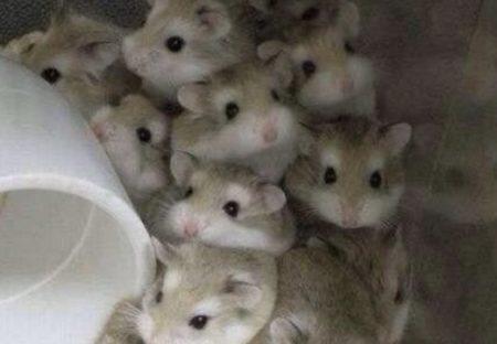 【12匹!】ぎゅうぎゅうになってる小さいハムスターがめちゃカワイイw