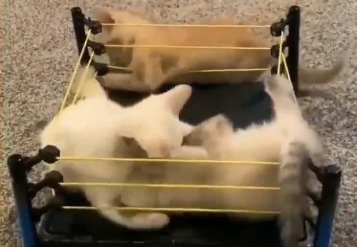 【結末w】たまらなく可愛い子猫のプロレスが話題に