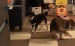 【動画】無邪気に遊ぶ2匹の犬が可愛いすぎると話題にw
