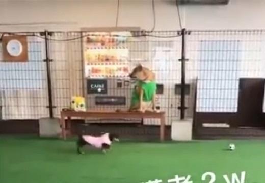 【w】「自分を人だと思ってる犬がドッグランへ行くと・・」の動画が最高に可愛い