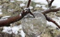 【凄い】木に実った氷のりんご、ゴーストアップル現象が話題
