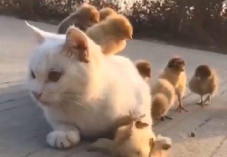 【可愛い】猫とその周りで遊ぶひよこ達の動画が話題「猫がひよこを守ってる!」