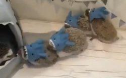 【動画】サメの被り物してちょこちょこ動くハリネズミ集団が話題「可愛いの渋滞w」