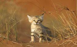【世界最小級】野生のスナネコの食事風景が砂漠で撮影されネット騒然!