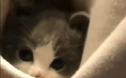 【動画】ポッケの中に隠れる美人子猫が話題に「瞳がまん丸!」