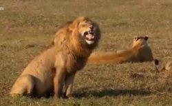 【?!】爆笑してるライオンが話題「つられて笑っちゃう」「元気がでたw」