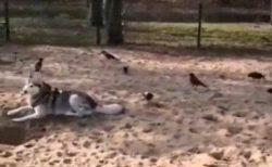 【そーっと】大きな犬に後ろから近付いて・・度胸試しで遊ぶ鳥の集団がカワイイw