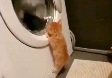 【どてっ】洗濯機に興味津々の子猫が話題「最後カワイイすぎるw」