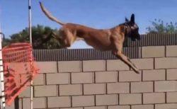 【!】凄すぎる犬の運動神経にネット騒然「凄いの想像を超えていたw」
