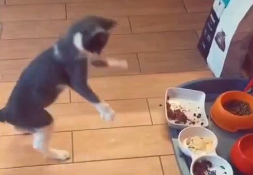 【動画】ごちそうを全力で喜ぶ猫が話題「リアクションw」