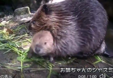 【w】どうしても泳ぎたい赤ちゃんビーバーと、抱っこして連れ戻す親の動画が話題に