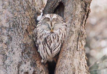 「近所の森林公園に住んでる野性のフクロウ」想像以上の可愛さで話題に