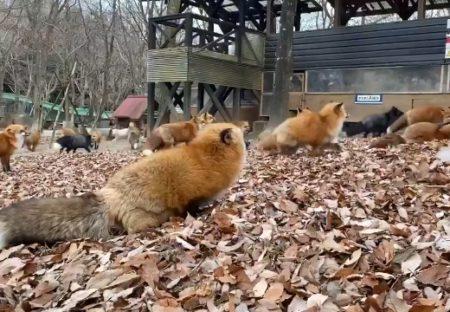 【動画】キツネ村でくつろぐ冬毛のキツネ達が話題に「もっふもふ!」「癒ししかない」