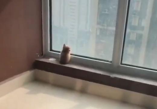 【w】窓辺でたそがれてる子猫、後ろ姿のフォルムがたまらなくかわいいw