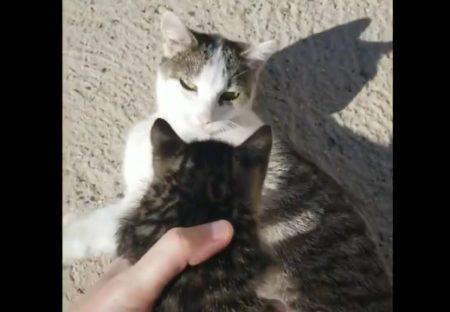 【動画】子育て中の母猫によその子猫を渡したら・・・驚きの行動に