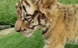 【動画】ぬいぐるみのようなトラの赤ちゃんが話題「可愛いすぎん?」「声まで可愛い」