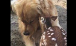 【動画】仲良しなバンビと犬が話題に