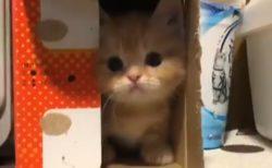 【ふわもこ】箱からこそっと出てくる子猫が最強の可愛さw