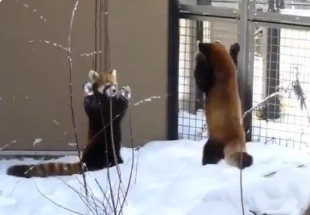 【激しいw】じゃれあうレッサーパンダがたまらなく可愛いと話題に