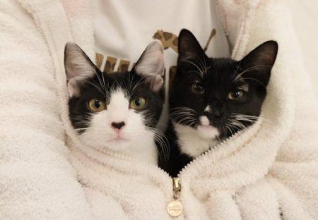 【ねこカイロ】藤あや子さんのふところに入って暖をとる猫ちゃん達が話題にw