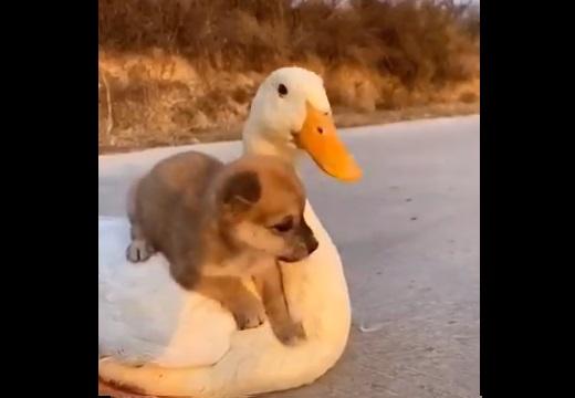 【やさしい】仲良しの子犬とあひるの動画が話題に