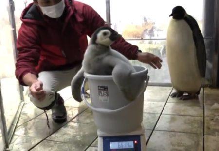 【動画】赤ちゃんペンギン、体重測定の様子が話題に「お風呂入ってるみたいw」
