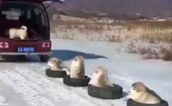 【動画】タイヤに乗るアラスカンマラミュートの子犬軍団!動きも全部カワイイw