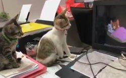 【w】真剣にトムとジェリーを視聴する猫達が話題に「ジェリー捕まえようとしてるw」