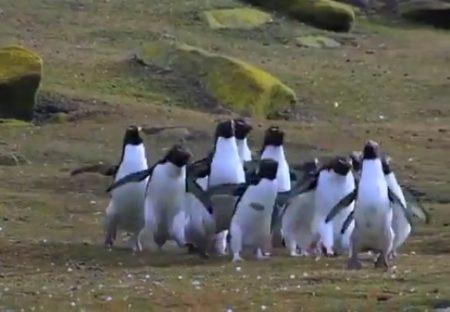 【ぴょんぴょん】蝶々を追いかけるペンギン集団が話題に「初めて見た!」「可愛いw」