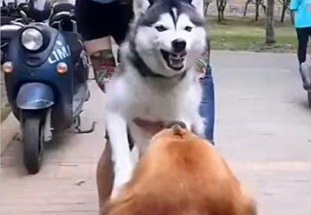 【えw】よその犬と激しく吠え合うハスキー君、飼い主がいなくなると戦意喪失