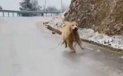 【w】凍結した路面でも転ばないゴールデン君が話題に