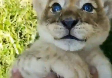 【動画】青い瞳が素敵なライオンの赤ちゃんが話題に「猫みたいw」