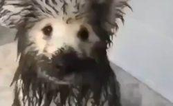【動画】泥だらけで帰宅した犬の親子が話題に「よりによってまっ白なサモエドw」