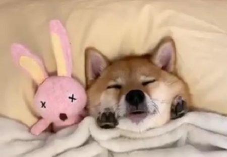 【動画】就寝中の柴犬くん、ほっぺに添えた両手が可愛いすぎるw