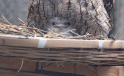 【!】ママの足の間でちょこんとしてる鳥のヒナが衝撃的可愛さw