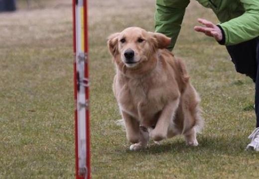やんちゃで力が強すぎるゴールデン君、しつけ教室で異様な脚力が判明。レースで大活躍!