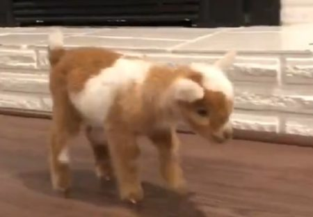 【動画】最高に可愛いヤギが話題に「おもちゃみたいw」