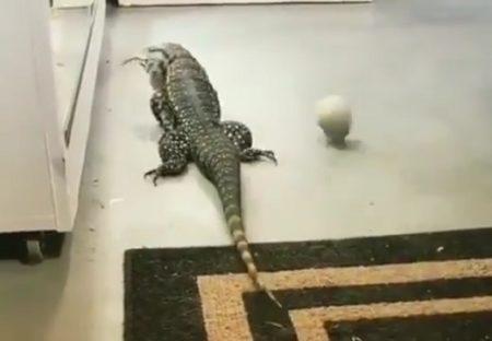 【衝撃動画】のんびり歩く巨大トカゲ、動くものを見つけた瞬間豹変!