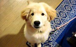 【!】秋田犬の血が混ざったゴールデンレトリバー、衝撃的な可愛さw