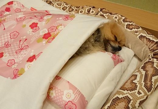 【すやすや】布団で眠るポメラニアンが話題に「見てて癒されるw」