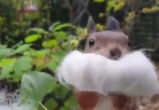 【動画】リスが綿を集める様子が話題に