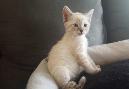 【!】まっ白なシャム猫の赤ちゃん、成長すると色が変わる理由がカワイイw
