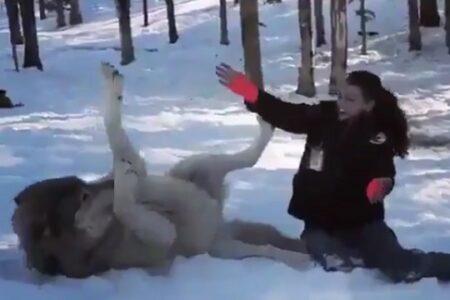 【でかっ】腹を見せて美女に甘えるオオカミが話題に「モフモフ!」「犬だw」