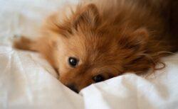 【動画】犬の写真に吠えまくる犬が話題にw