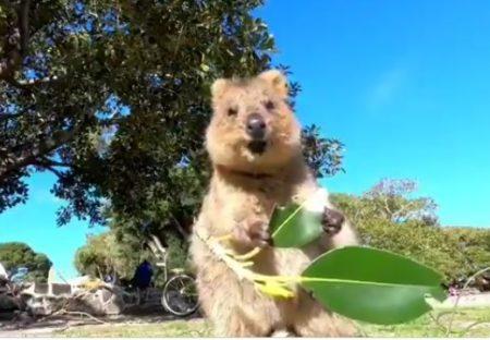 【癒し系】可愛い笑顔で葉っぱを食べるクアッカワラビーが話題「にやにやしちゃうw」