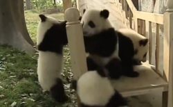 【動画】すべり台で遊ぶパンダ4頭、めちゃくちゃ可愛いw