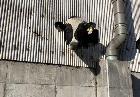 【w】壁に開いた穴から顔を出してる牛が話題に「めちゃくちゃ可愛い!!」